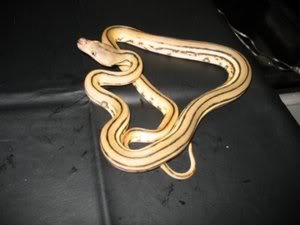 Reticulated Albino Type II Tiger Python