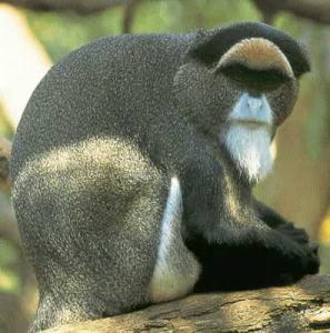 Monyet Debrazzas