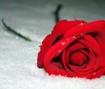 Mawar Merah